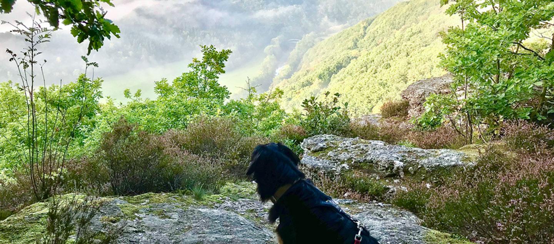 Hovawart in der Eifel bei einer Wanderung