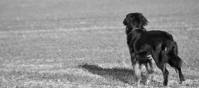 Schwarzweiß Bild esines Hovawarts auf dem Feld