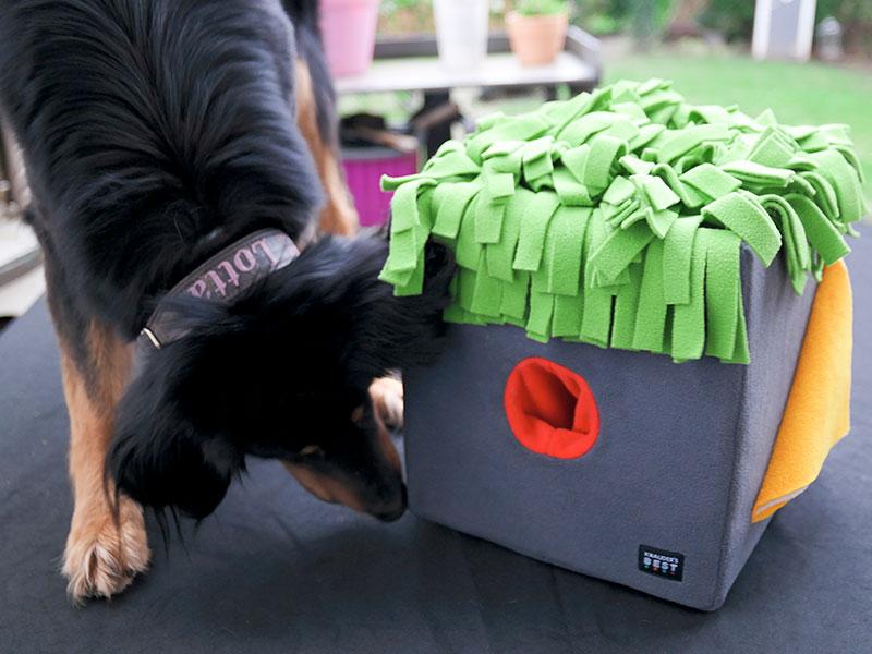 Hovawart bei der Nasenarbeit am Snif-Box (Schnüffelbox) von Knauders Best