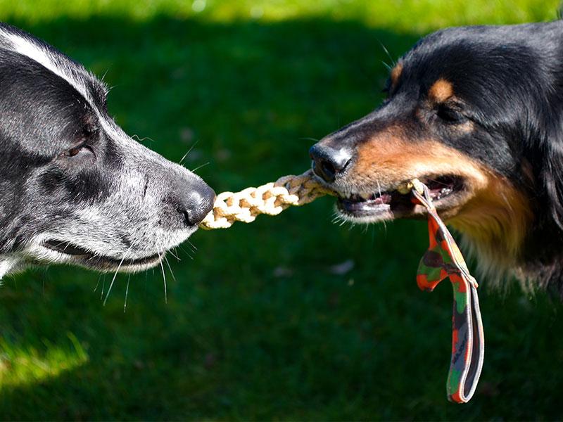 Zwei zerrende Hunde mit Major Dog Fischgräte