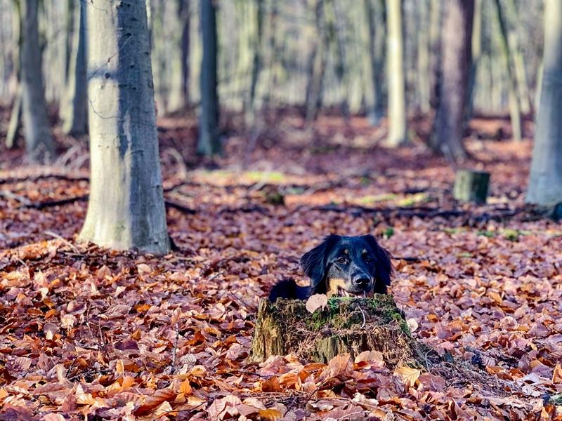 Hovawart im Wald