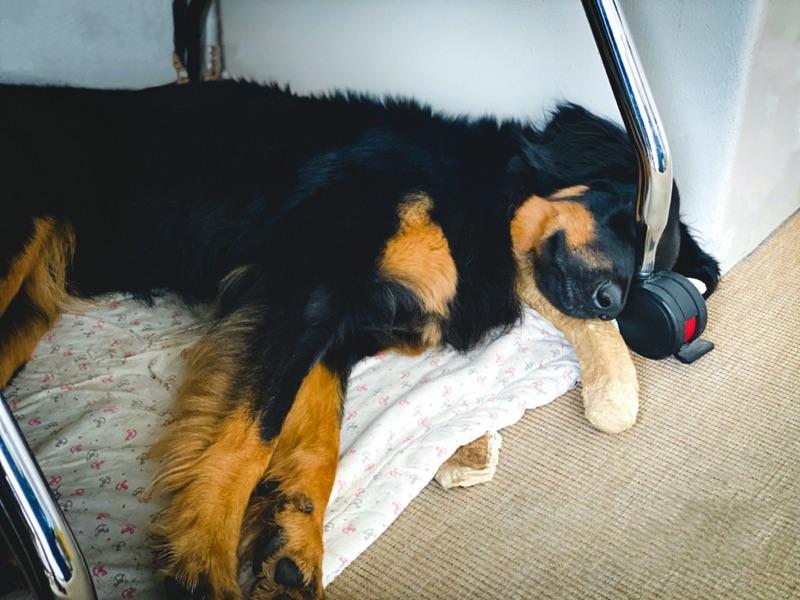 schlafender Hovawart