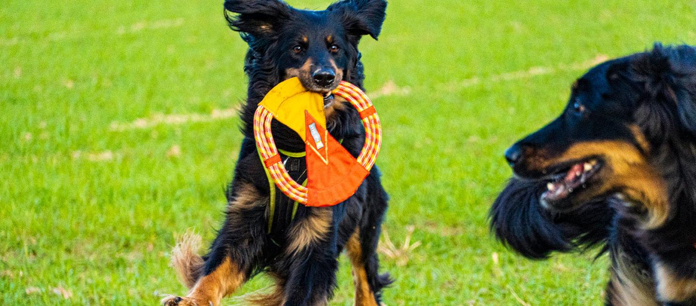 2 Hovawarte beim Spiel mit einer Frisbee
