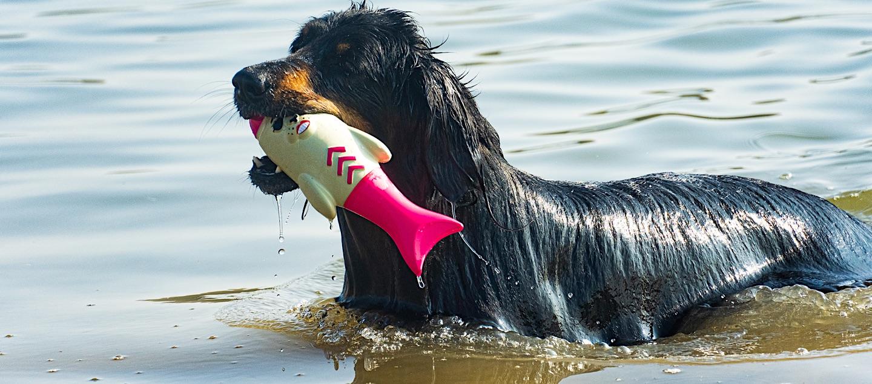 Hovawart im See mit Wasserspielzeug
