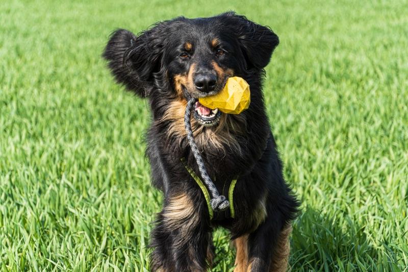 Hovawart mit einem gelben Hundespielzeug auf einer grünen Wiese