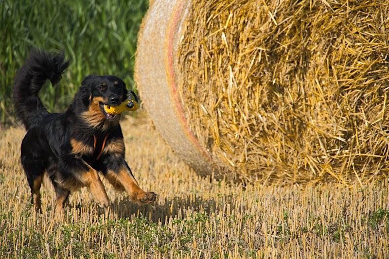 Hovawart auf dem Feld im Sommer mit seinem Hundespielzeug