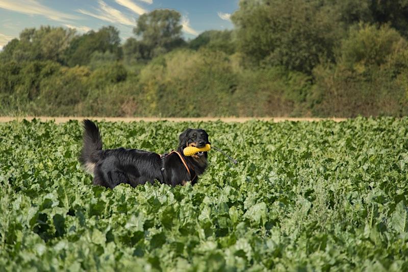 Hovawart auf dem Feld mit seinem extrem stabilen Hundespielzeug von hovawart.rocks