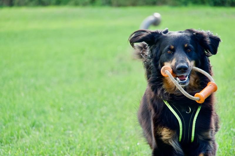 Hovawart mit stabilem Hundespielzeug