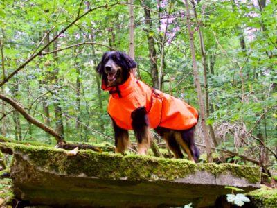 Hovawart mit Regenmantel im Wald