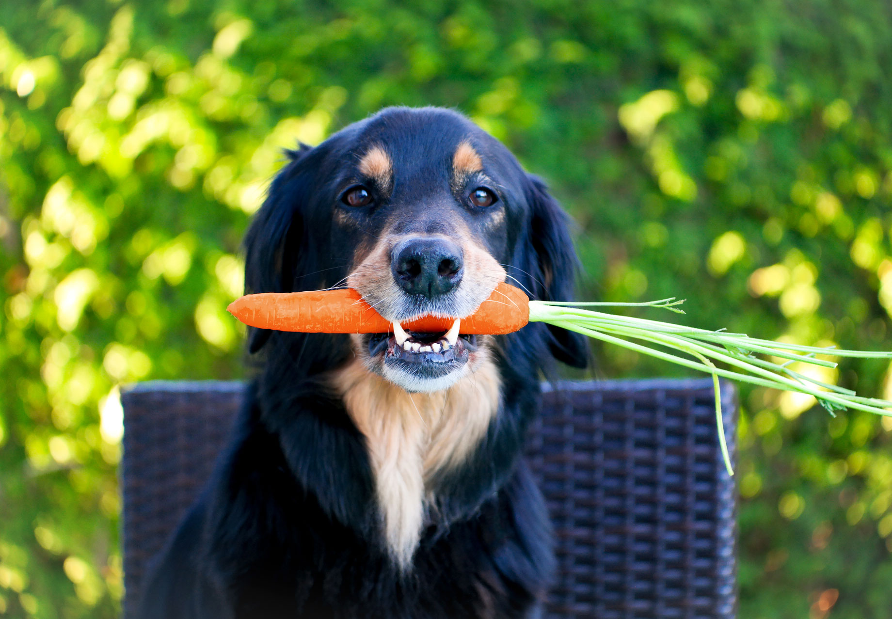Hovi with carrot