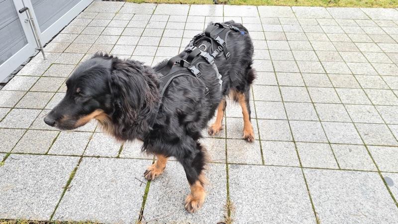 Spezial Geschirr für einen alten und kranken Hund, damit wird der Hund unterstützt beim gehen und aufstehen