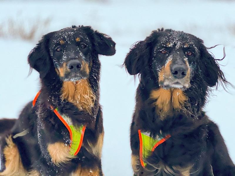 Grossenbacher Night Geschirr an einem großen Hund im Schnee