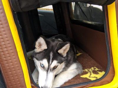 Hundebox für den Rücksitz für große Hunde wie den Hovawart oder Schäferhund