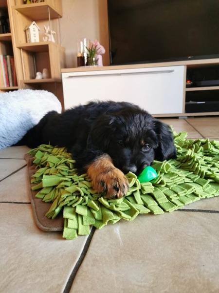Hovawart Welpe mit Spielzeug Schnüffelrasen