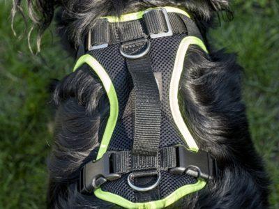 Mitwachendes Hundegeschirr an einem Hovawart