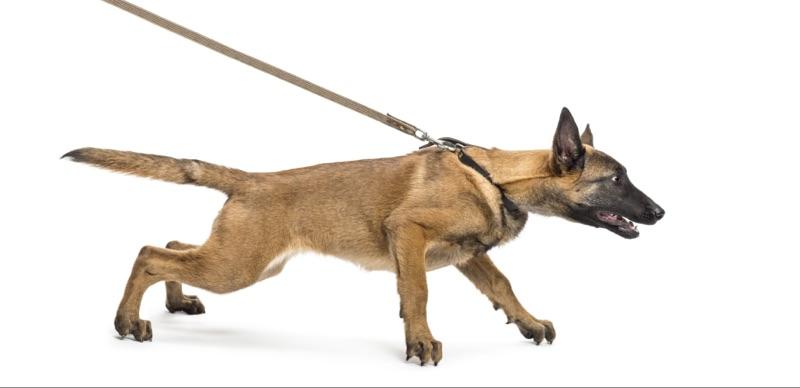 Ziehender Hund am Halsband
