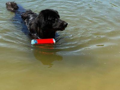 schwarzer Hovawart mit einem Wasserspielzeug