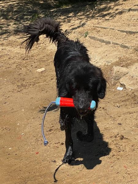 Hovawart mit einem Wasserspielzeug