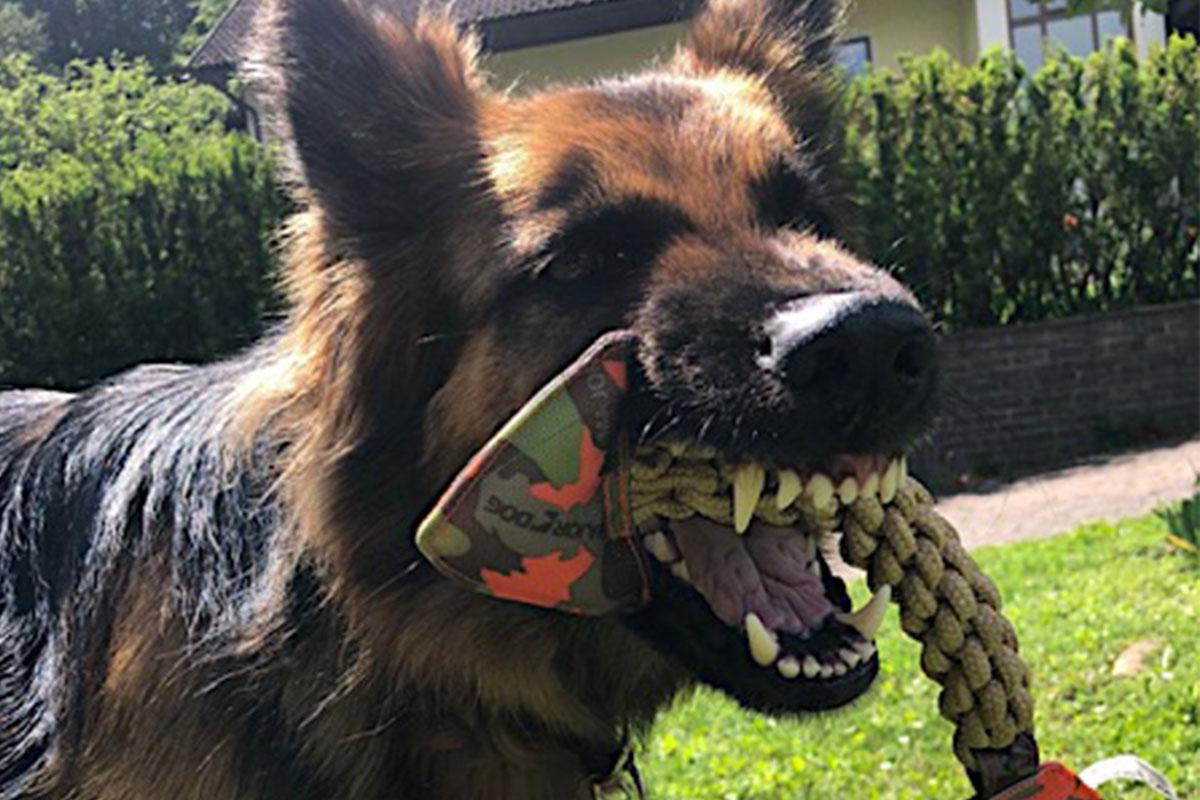 Schaeferhund_Majordog