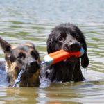 Schäferhund und ein Hovawart mit Schwimmspielzeug