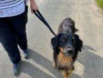 Kurzführer Hundeleine an einem Hovawart
