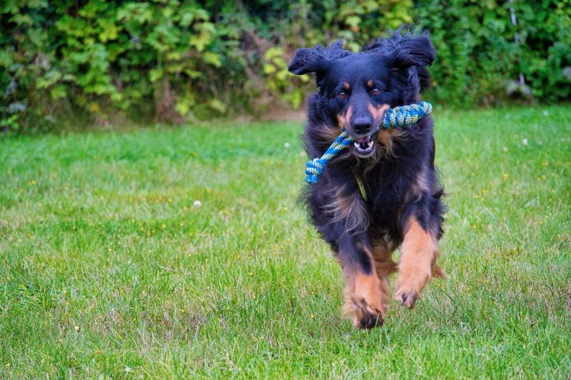 Hovawart auf dem Hundeplatz mit seinem Trainingsspielzeug